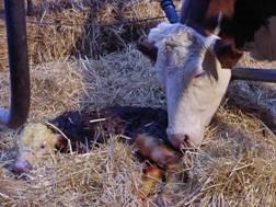 geburtshelfer für kühe